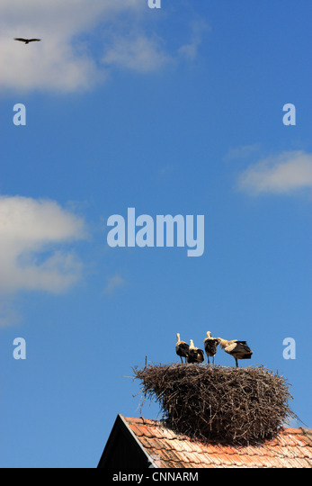 European white stork ciconia ciconia adolescent chicks in nest adult soars above Hunawihr alsace france - Stock Image