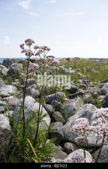 Valerian (Valeriana officinalis) growing near water's edge - Stock Image