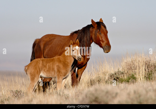 Wild horse (Equus Caballus) mare and foal, Green River, Wyoming, United States of America, - Stock Image