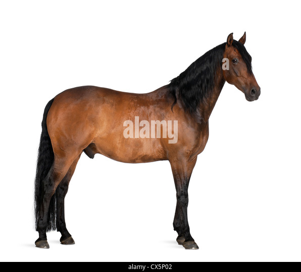 Mixed breed of Spanish and Arabian horse, 8 years old, standing against white background - Stock Image