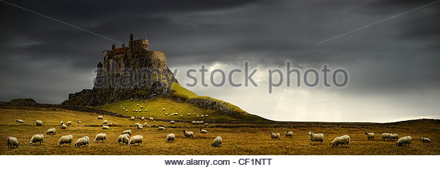 Sheep grazing by Lindisfarne Castle, a 16th-century castle located on Holy Island. - Stock Image