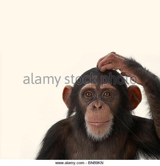Chimpanzees - Stock-Bilder