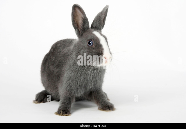 Dwarf Rabbit blue with white 15 weeks Domestic Rabbit - Stock Image