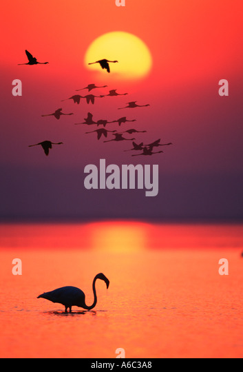 Greater Flamingo Phoenicopterus ruber In silhouette against sunset digitally enhanced Africa Southern Eurasia Americas - Stock Image