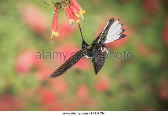 A male white collard inca is feeding on the nectar of a flower. - Stock-Bilder