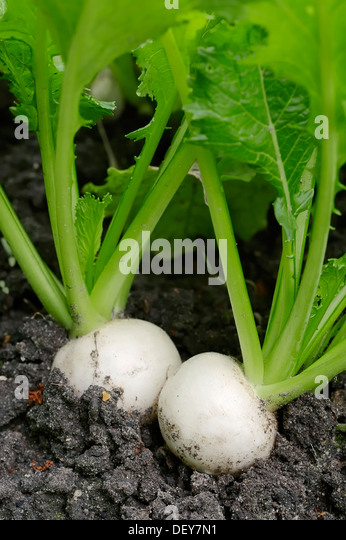 May Turnip or Navette (Brassica rapa ssp. rapa var. majalis), Bergkamen, North Rhine-Westphalia, Germany - Stock Image