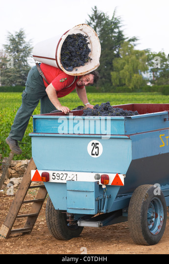 pinot noir harvesting with hod beaune cote de beaune burgundy france - Stock Image