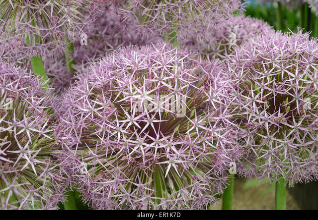 Close up of purple Alliums inside the 'Grand Pavilion' at the 2015 RHS Chelsea Flower Show - Stock Image