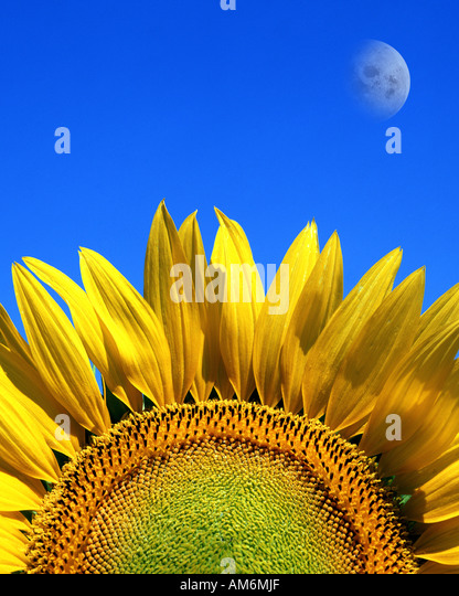 FR - PROVENCE:  Sunflower and moon - Stock Image