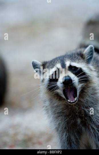 Raccoon behavior. - Stock Image