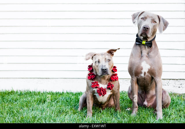 Brown Pitbull and Weimaraner dogs sitting in grass in front of white wall wearing bow tie and lei - Stock Image