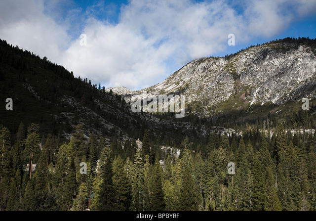 Pine forest in the Sierra Nevada Mountains - Stock Image