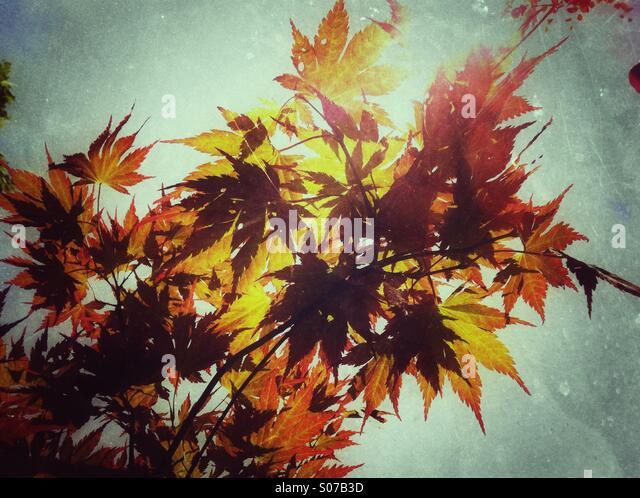 Autumn maple leaves - Stock Image
