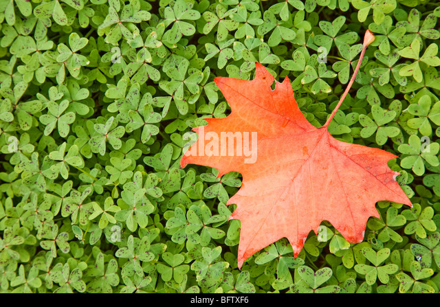 Red maple leaf on green leaves - Stock Image