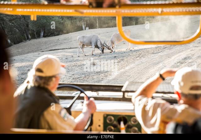 Safari Goers Watch Fighting Antelope - Stock Image