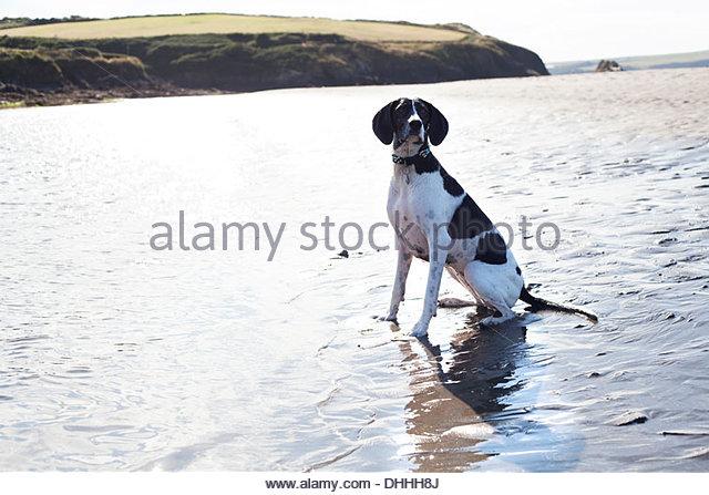 Portrait of dog sitting on beach, Wales, UK - Stock Image