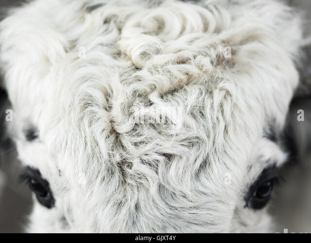 Everest Base Camp yak - Stock Image