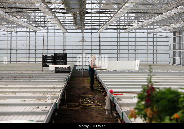 Worker inside a geothermally heated greenhouse, Iceland - Stock Image