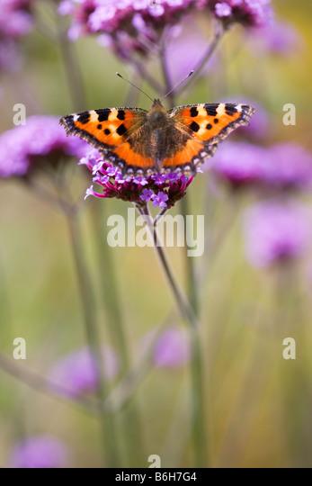 Small Tortoiseshell Butterfly on verbena - Stock Image