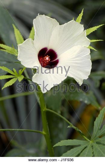 HIBISCUS CANNABINUS. CHANVRE INDIEN. KENAF - Stock-Bilder