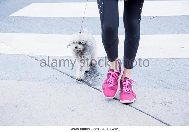 Legs of Caucasian woman walking dog in crosswalk - Stock Image