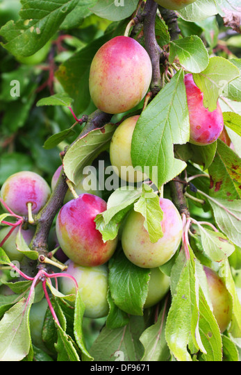 plumtree mature singles Prunus mume is an asian tree species classified in the armeniaca section of the  genus prunus  weeping plum tree cultivar  pinzimei xing (品字梅型) [ pleiocarpa form] jiangmei xing (江梅型) [single  the plums can be removed  after 100 days, and the syrup can be consumed right away, or mature for a year  or more.