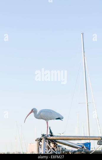 USA, Florida, Miami, View of American white ibis (Eudocimus albus) - Stock Image