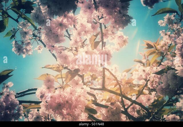 Cherry tree blossoming in springtime with a nostalgic atmosphere - Stock Image