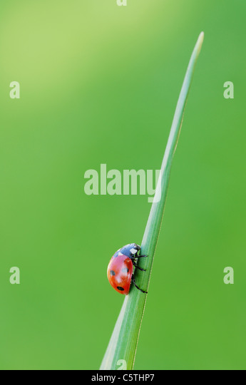 Germany, Bavaria, Seven-spot Ladybird (Coccinella septempunctata) on blade of grass, close up - Stock Image