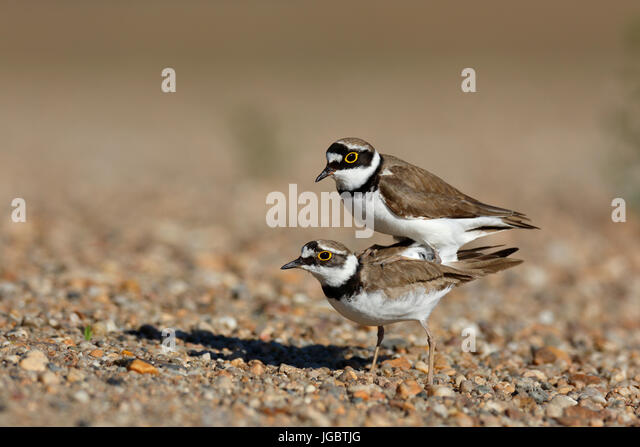 Little ringed plovers (Charadrius dubius) mating, Biosphere reserve Middle Elbe, Saxony-Anhalt, Germany - Stock Image