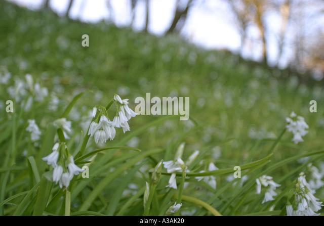 glade of ramsons wild garlic allium ursinium white flowers county down northern ireland - Stock Image