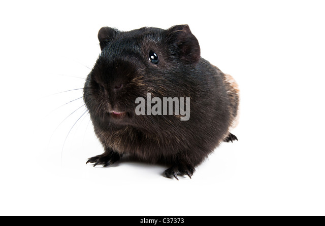 brown cavy on white background  - Stock Image