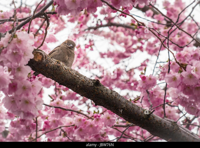 Little sparrow in flowering cherry tree - Stock Image