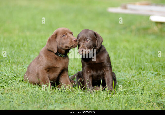 Two brown Labrador Retrievers, puppies, sitting next to each other - Stock Image