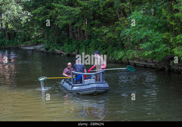 electrofishing, stock control for EU Water Framework Directive, Germany, Bavaria, Fluss Dorfen - Stock Image