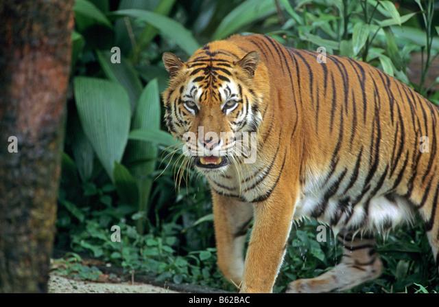 Sumatran Tiger (Panthera tigris sumatrae) walking in jungle - Stock Image