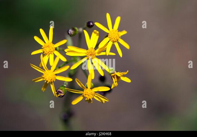 Ragwort (packera aurea) - Brevard, North Carolina, USA - Stock Image