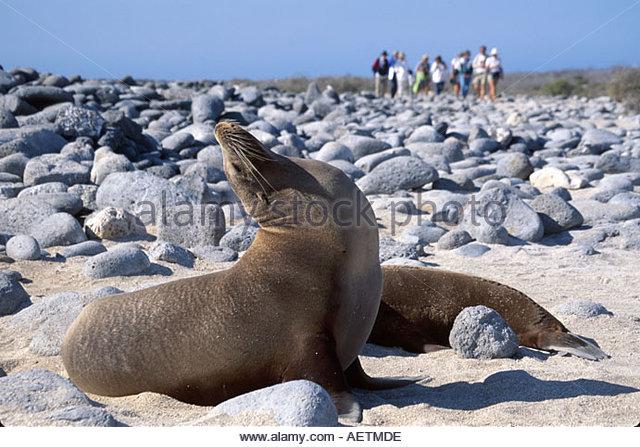 Ecuador Galapagos Islands North Seymour Island Galapagos Sea Lion stretching visitors beach - Stock Image