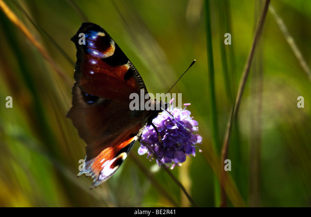 Red Admiral (Vanessa atalanta) butterfly - Stock Image