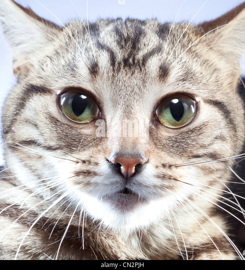 Portrait of cat, close up - Stock Image