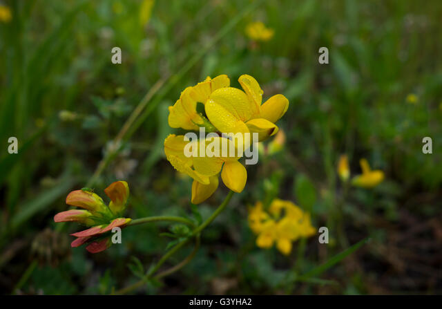 Bird's foot trefoil, Lotus corniculatus, a common field flower of Europe. - Stock Image