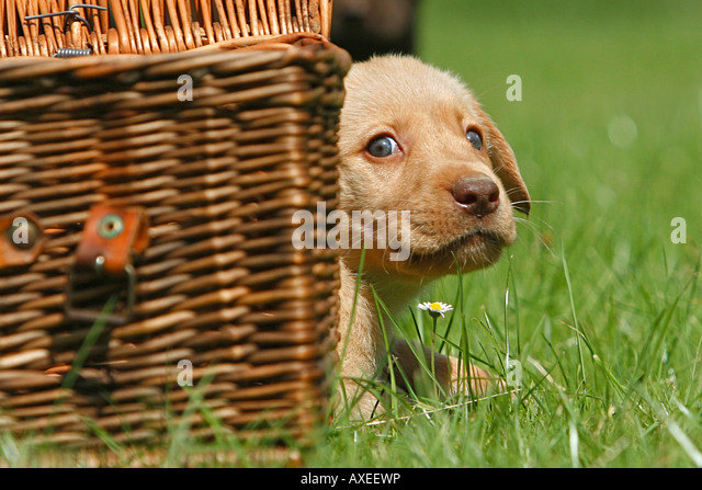 Labrador Retriever puppy looking out of a basket - Stock Image