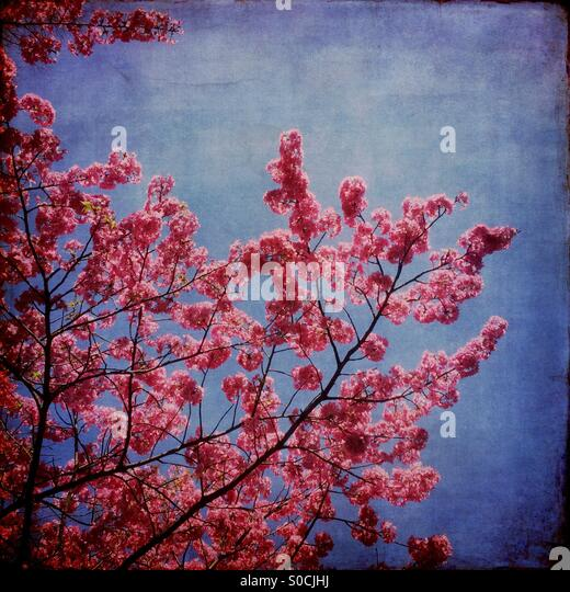 Pretty, pink sakura or cherry blossoms with grungy, vintage texture overlay. - Stock Image