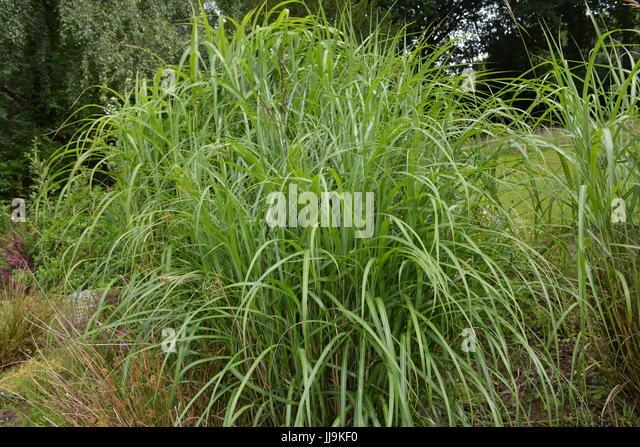 Miscanthus garden stock photos miscanthus garden stock for Tall ornamental grasses