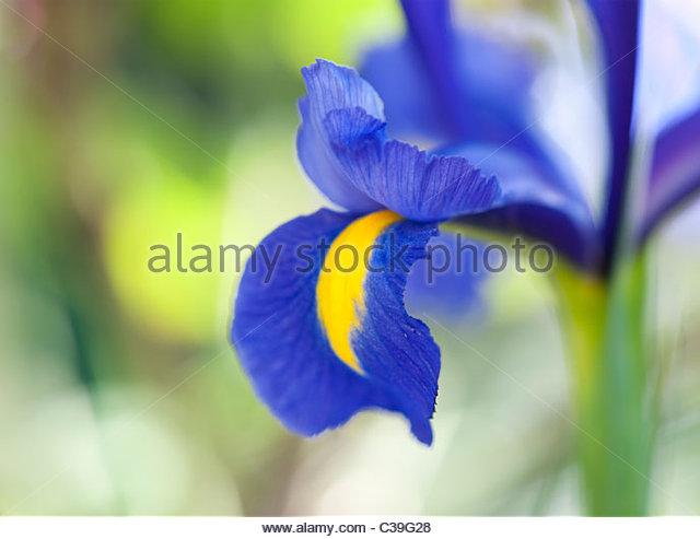 blue irises stock photos blue irises stock images alamy. Black Bedroom Furniture Sets. Home Design Ideas