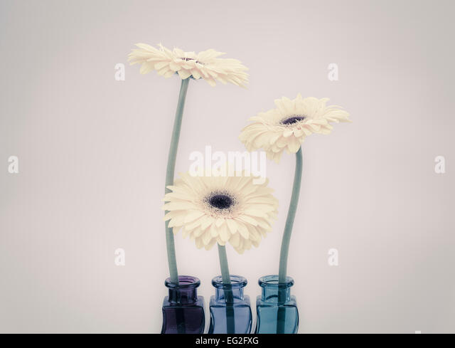 Three Gerberas in colored glass vases - Stock Image