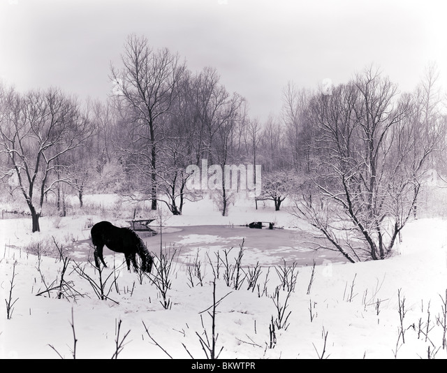 Black and white view of a snowy winter scene of lone horse grazing near a frozen pond, near Lima, New York, USA - Stock Image