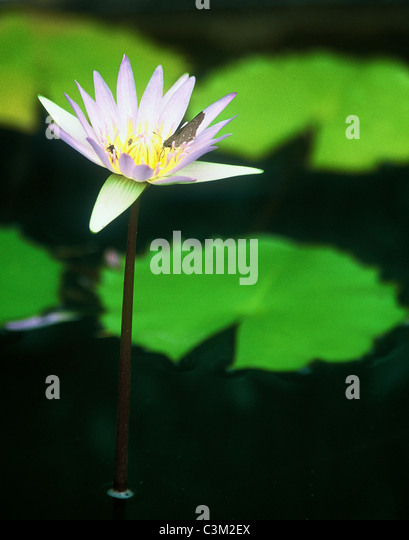 Water lily flower and pads South Africa - Stock Image