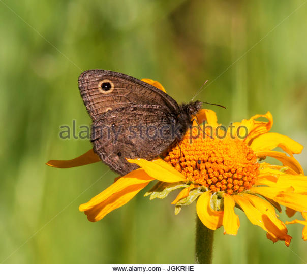 Wood Nymph Butterfly Stock Photos & Wood Nymph Butterfly ...