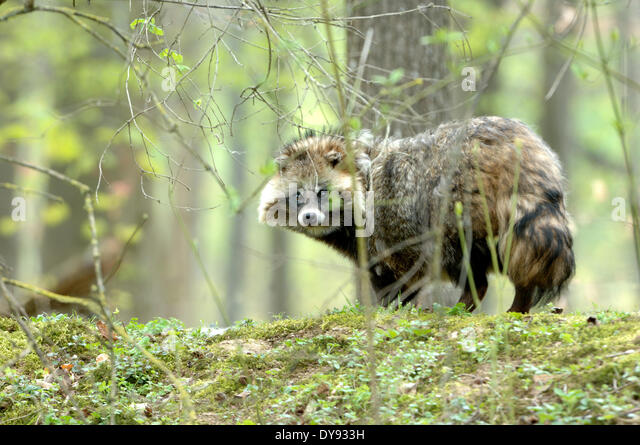 raccoon dog Enok Nyctereutes procyonoides canids predators spring Immigrated wild animals invasive fur fur animal - Stock Image